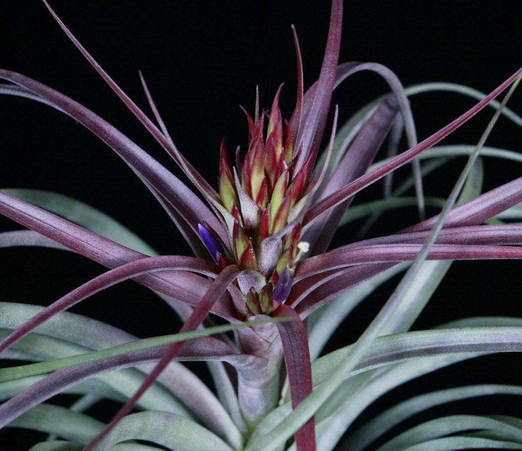 Tillandsia 'Widgee'
