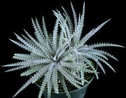 Dyckia delicata (possible hybrid) - Tropiflora