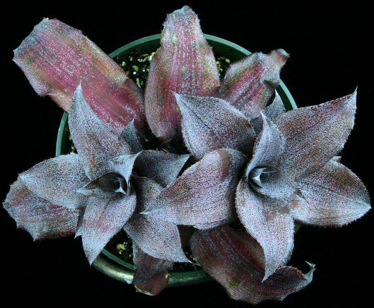 Cryptanthus 'Really Sweet'