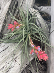 Tillandsia 'Ed Doherty'