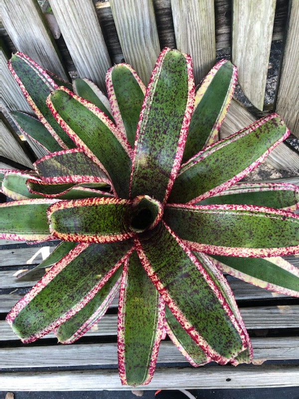 Neoregelia 'Kinetic Energy'