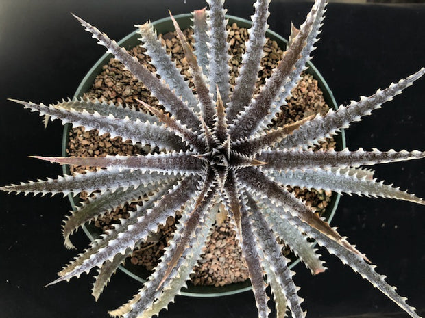 Dyckia 'Brittle Star' x ('Brittle Star' f2 x 'Arizona')