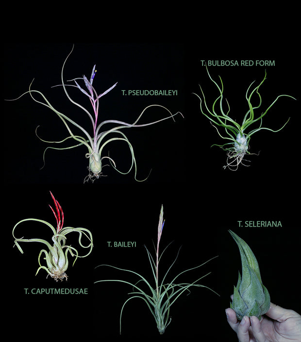 Bulbous Tillandsia Collection