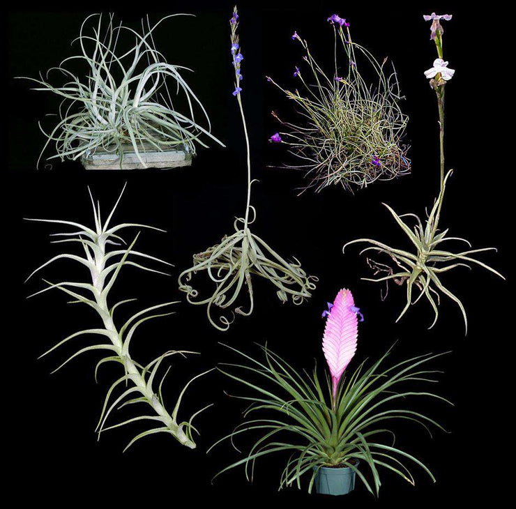 Fantastically Fragrant Tillandsia Collection