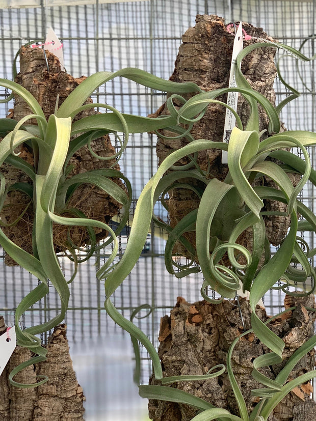 Tillandsia Mounted Assortment (Hanging)
