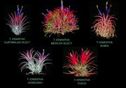 Tillandsia ionantha Collection