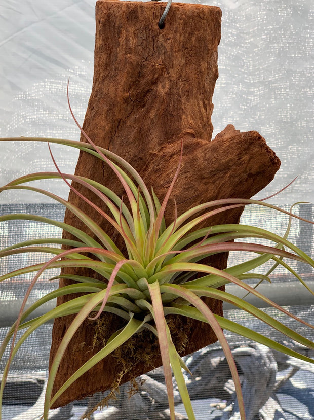 Mounted Tillandsia (Hanging)