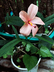 Abelmoschus species Pink Flower - Tropiflora