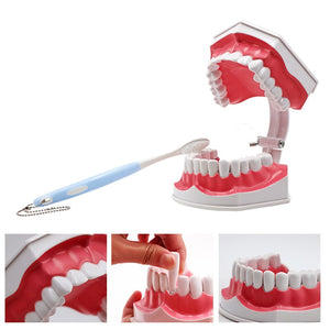 1pc Dental Large Teaching Teeth Model with Tooth Brush Dnetist Teaching Training Tool Detachable Resin Removable Teeth Cleaning