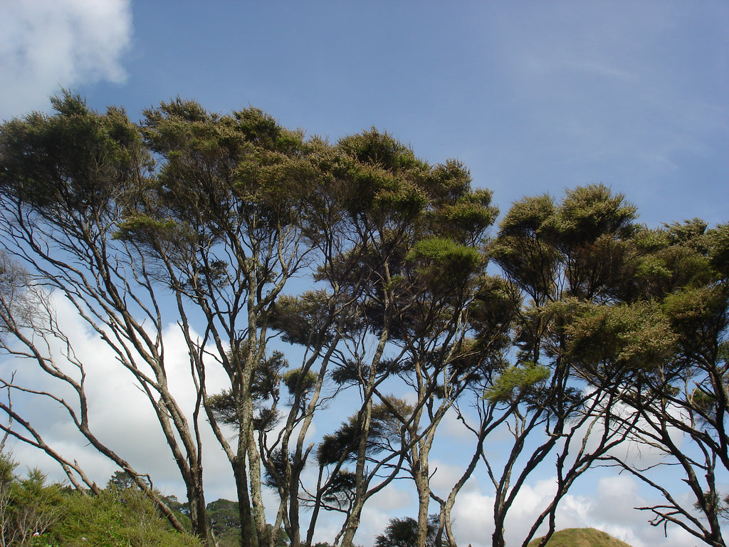 The Wonders of the Mānuka Tree