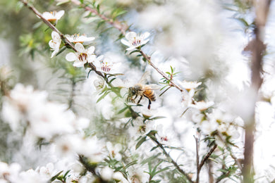 Top Manuka Myths