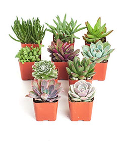 Shop Succulents | Unique Live Plants, Hand Selected Variety Pack Mini Succulents | Collection of 10, Standard Box | Unique Collection of Live