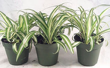 Load image into Gallery viewer, JM BAMBOO Ocean Spider Plant - 4'' Pot 3 Pack for Better Growth - Cleans the Air/Easy to Grow by Jmbamboo