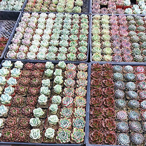 Yeah Plants Succulent Plants Live 6 Pack of Assorted Rosettes Succulents Fully Rooted in 2'' Planter Pots with Soil, Hand Selected Variety Pack of Mini Live Succulents Cactus Indoor Outdoor Easy Care Plants