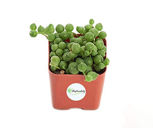 "Shop Succulents | Perfect String of Pearl Succulent Plant, Ideal for Hanging Baskets or Trailing Planters, 2"" Pot 2 inch Standard Box"