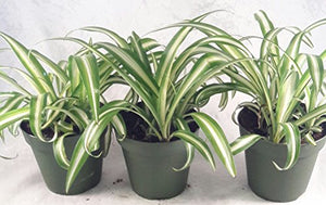 JM BAMBOO Ocean Spider Plant - 4'' Pot 3 Pack for Better Growth - Cleans the Air/Easy to Grow by Jmbamboo