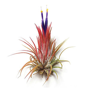 The Air Plant Shop Air Plant Shop's Tillandsia Ionantha - 5 Pack - Free PDF Air Plant Care eBook with Every Order - 5 Pack Air Plant Variety - Fast Shipping from Florida