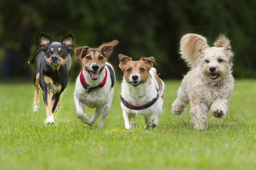 SMALL PAWS (SMALL DOG) 3 DAYS A WEEK GROUP DOG WALKING PACKAGE SAVE 10%