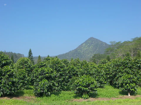 Hawaiian coffee varieties