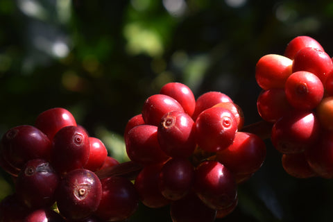 Molokai coffee fruit