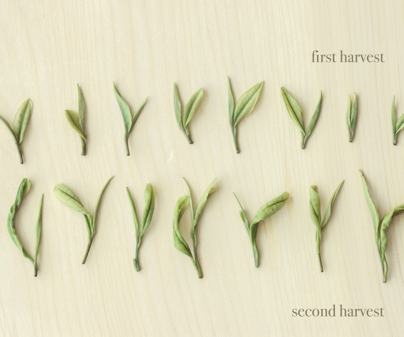 First Harvest 2020 Anji Baicha 明前安吉白茶