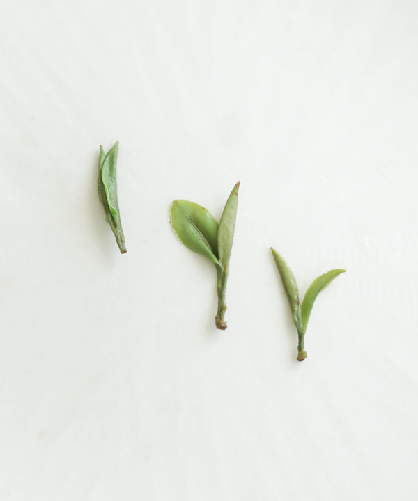 Wild Purple Shoots 2021 First Harvest 明前顾渚紫笋