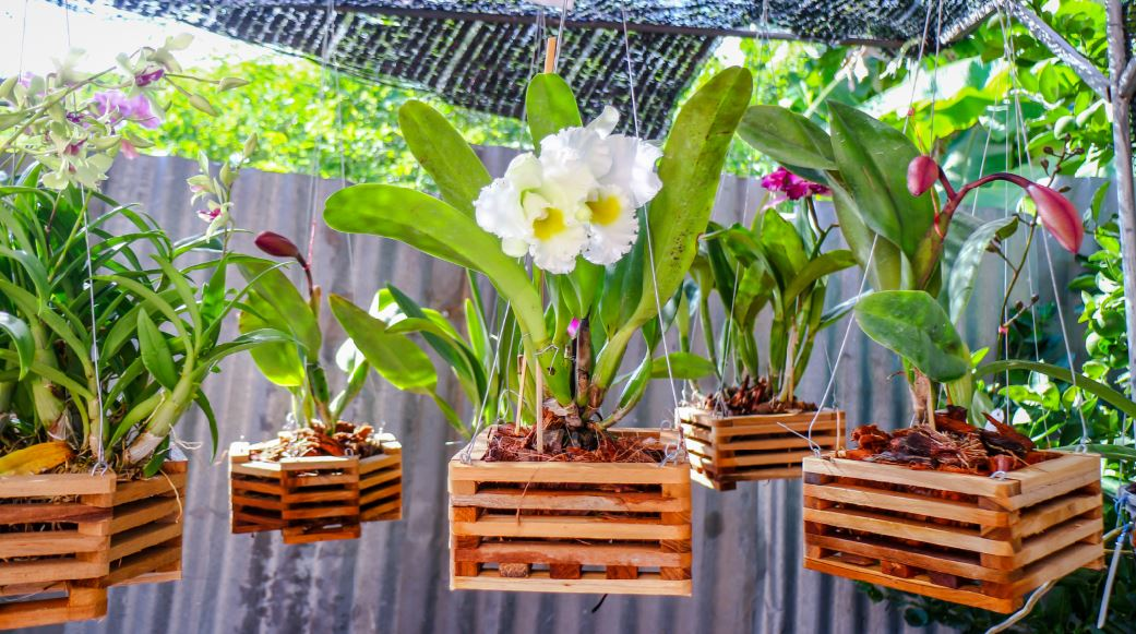 growing orchids in hanging baskets