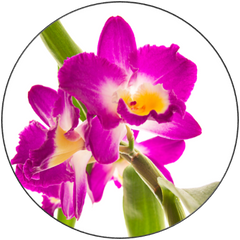 Dendrobium Comet King Orchid