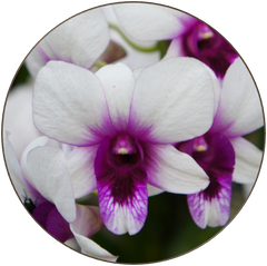 Dendrobium Polar Fire Orchid