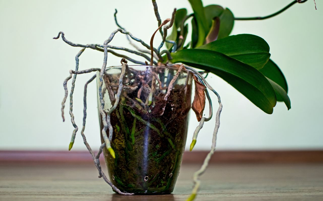 long overgrown orchid plant roots