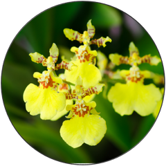 Oncidium Sweet Sugar (Dancing Lady) Orchid