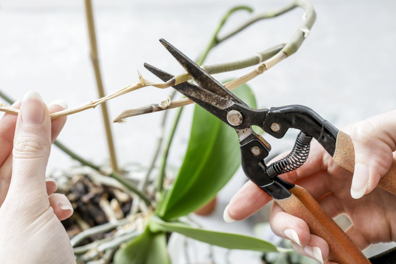 cutting the stem of an orchid