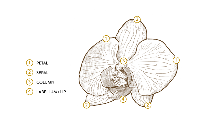 orchid flower anatomy