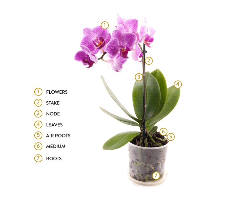 orchid plant anatomy