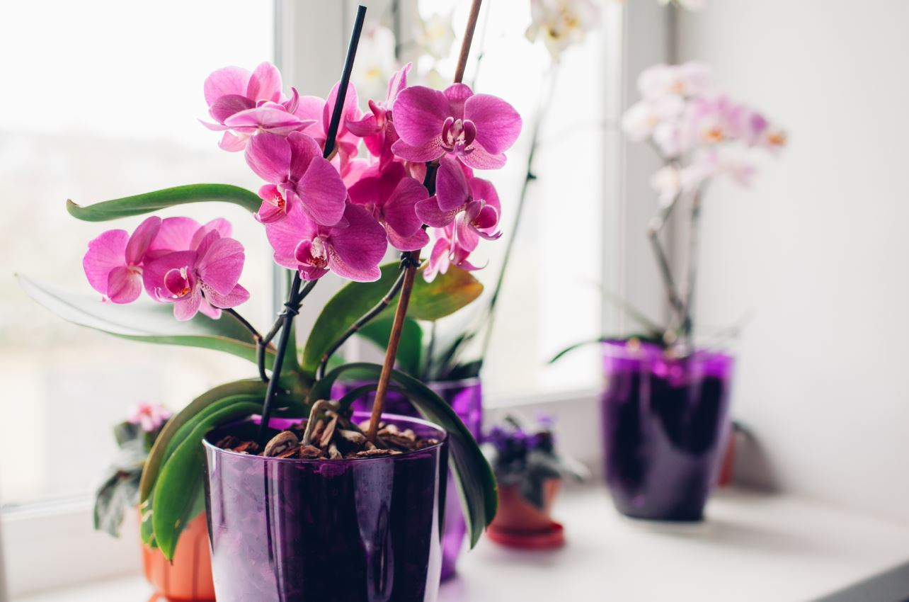 Resting period for orchids