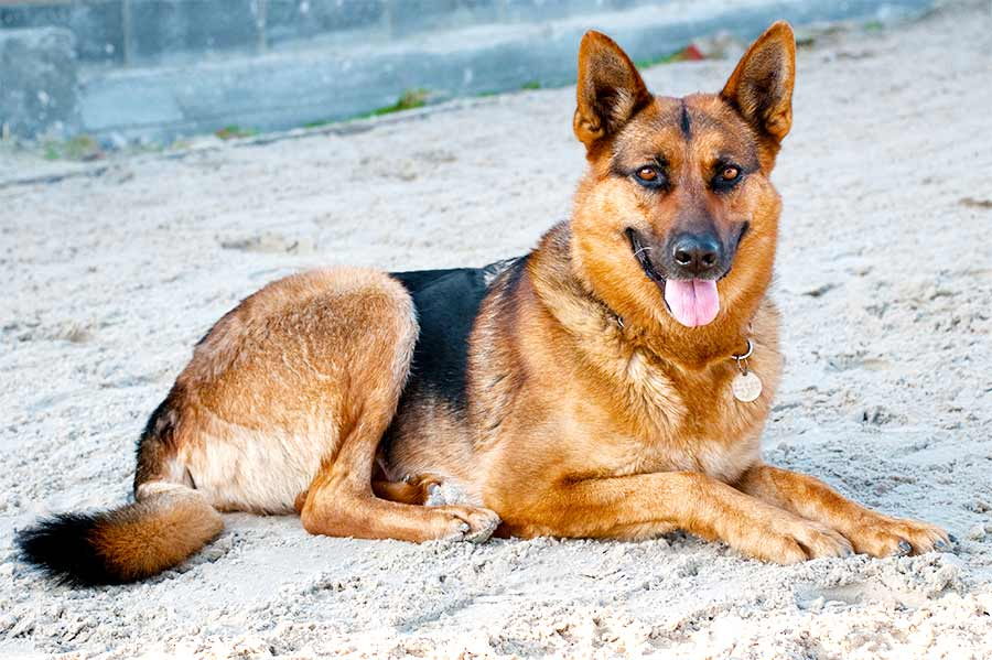 The German Shepherd – The Right Dog for You?