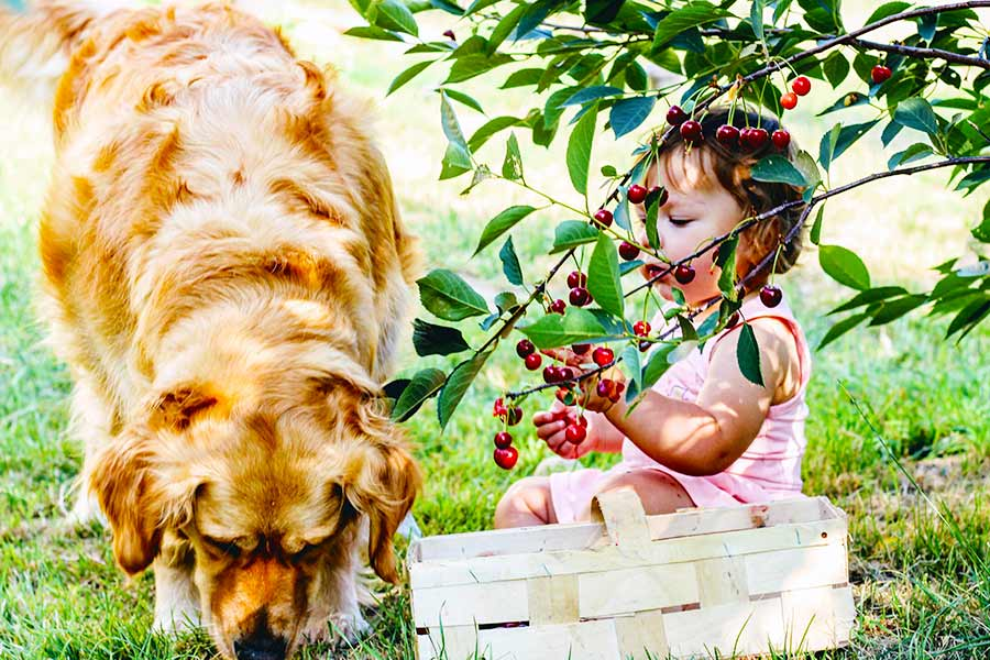 Toddler girl and Labrador dog sitting under a cherry tree