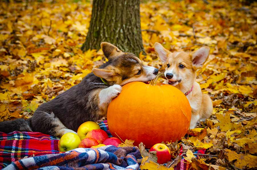 Two corgi dogs nibbling on a whole pumpkin.