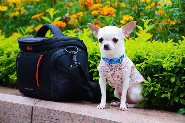 Chihuahua dog sitting outside next to a black bag