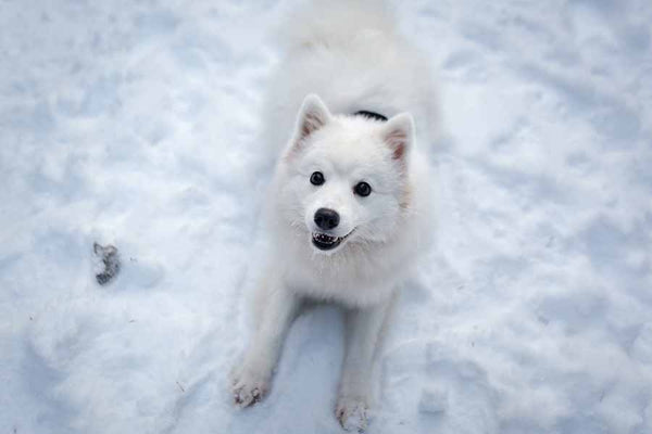 white dog laying in the snow