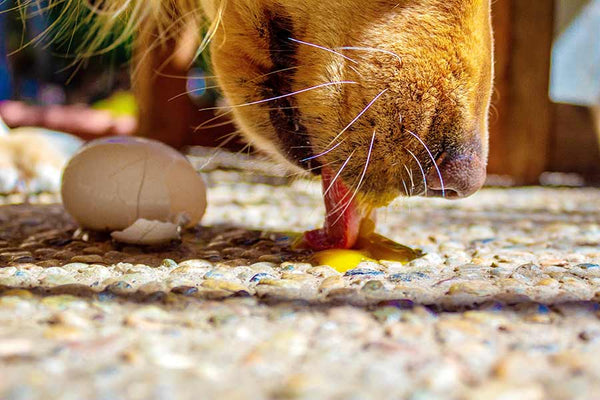 Dog snoot licking up some egg yolk from the ground.