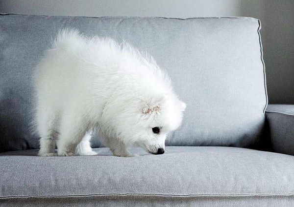 Fluffy small white dog sniffling on a grey couch while standing on it