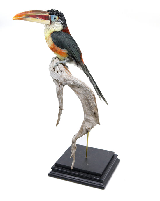 Bird Taxidermy Shop | Taxidermied Curl-crested aracari | opgezette toekan