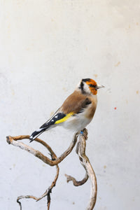 Bird Taxidermy Shop |  Buy taxidermy | Koop opgezette vogels / dieren | Opgezette vogels te koop | New taxidermied european goldfinch | Opgezette putter te koop | Opgezette distelvink te koop | Opgezette vogel |