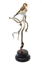 Load image into Gallery viewer, Bird Taxidermy Shop |  Buy taxidermy | Koop opgezette vogels / dieren | Opgezette vogels te koop | New taxidermied european goldfinch | Opgezette putter te koop | Opgezette distelvink te koop | Opgezette vogel |