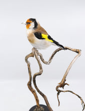 Load image into Gallery viewer, European goldfinch