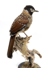 Load image into Gallery viewer, Spotted laughingthrush