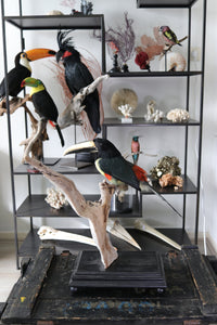 Buy taxidermy, buy mounted birds | Koop opgezette vogels | Opgezette vogels te koop | New taxidermied black-necked aracari | Opgezette zwartnek arassari te koop | Opgezette toekan te koop | Opgezette vogel | Bird Taxidermy.  | Toucan taxidermy for sale