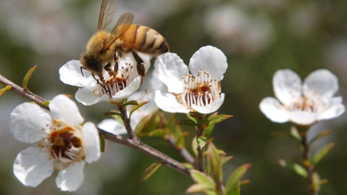 Manuka Oil and Health