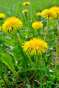 Dandelion Herbal Tincture